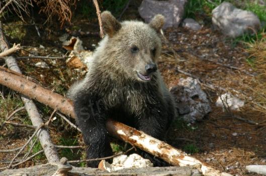 Ursus arctos minor - kleiner Braunbär, Bärenpark Orsa Grönklitt, Schweden