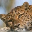 Portrait eines liegenden Leopardes im Tierpark Haag